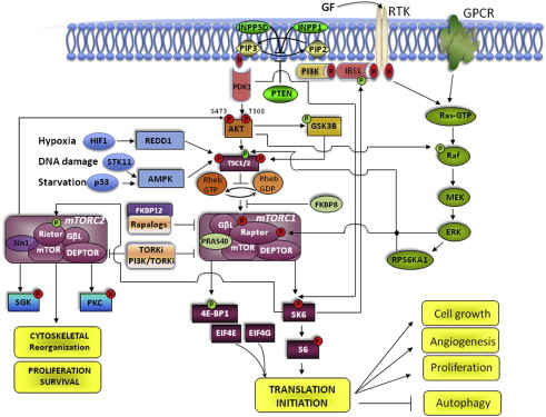 Mtor Signaling Pathway And Mtor Inhibitors In Cancer
